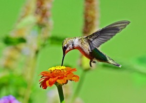 Hummingbird on a Zinnia