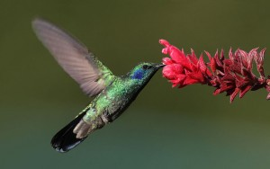 colibri-thalassinus-001